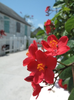 green turtle cay, abaco, bahamas, tropical flower