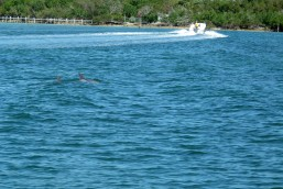 Dolphins Dodge Boat in Black Sound