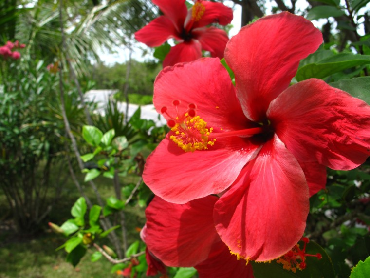 Hibiscus Flowers, Green Turtle Cay, Abaco, Bahamas