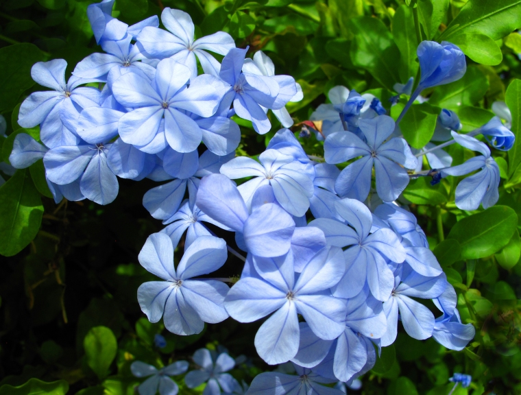 bahamas, abaco, green turtle cay, new plymouth, tropical flower, plumbago