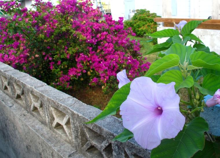 bahamas, abaco, green turtle cay, bougainvillea, tropical flower