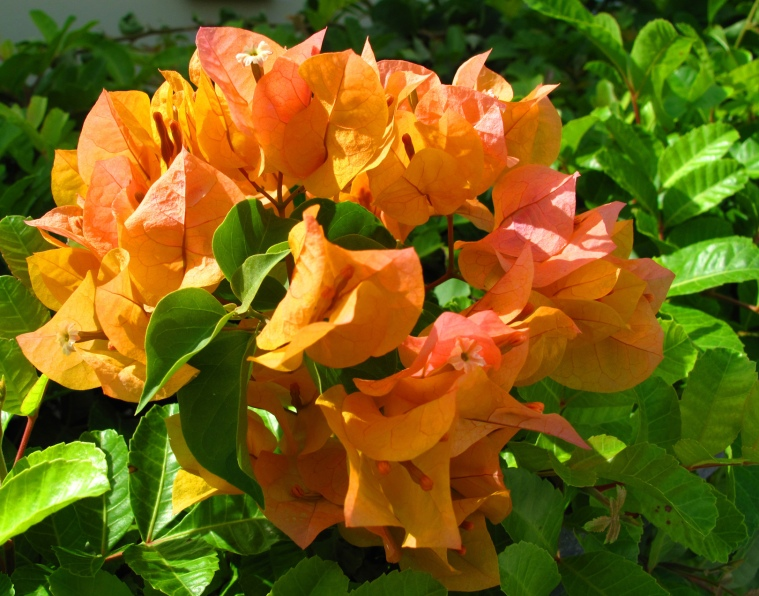 bahamas, abaco, green turtle cay, tropical flower, bougainvillea