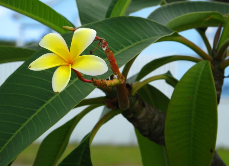 bahamas, abaco, green turtle cay, frangipani