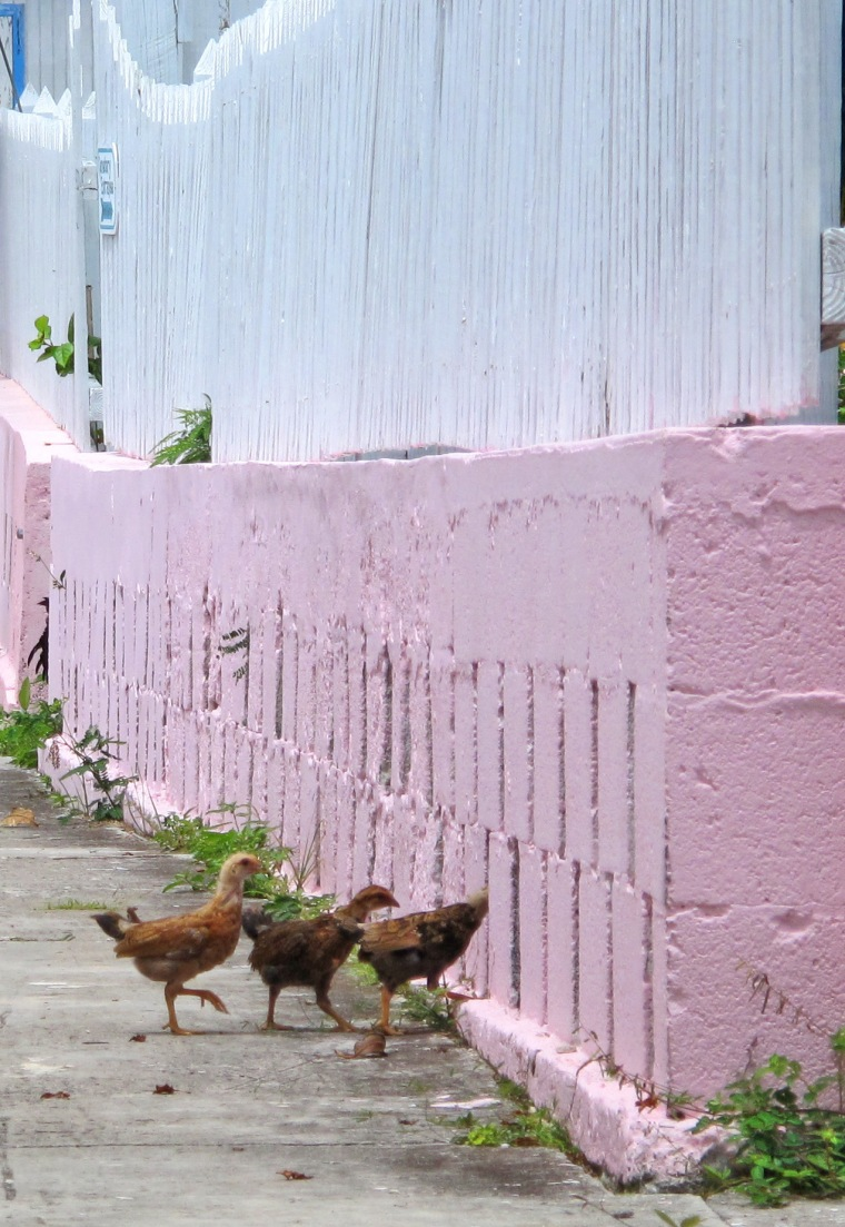 bahamas, abaco, green turtle cay, chickens