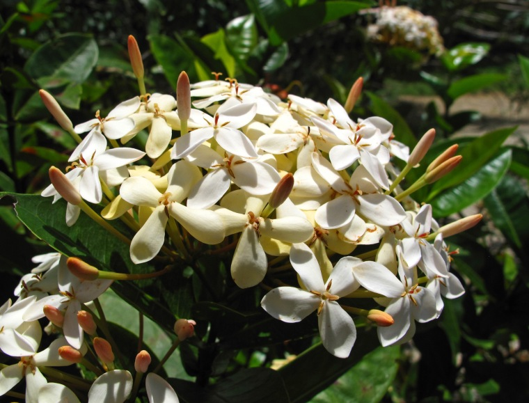 bahamas, abaco, green turtle cay, tropical flower