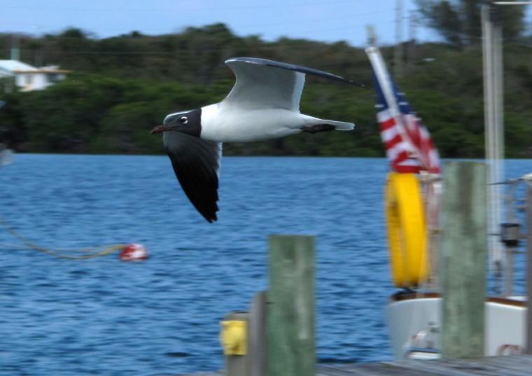 bahamas, abaco, green turtle cay, seagull
