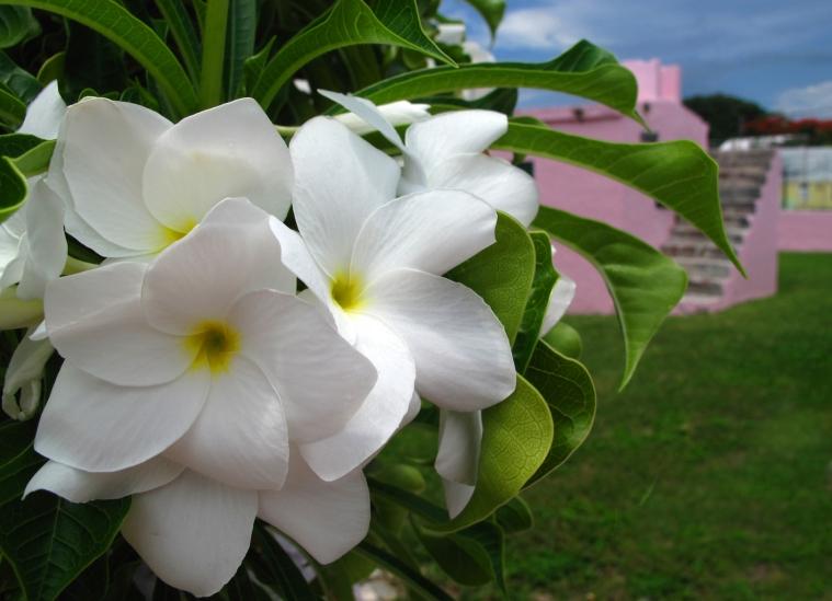 bahamas, abaco, green turtle cay, frangipani, tropical flower