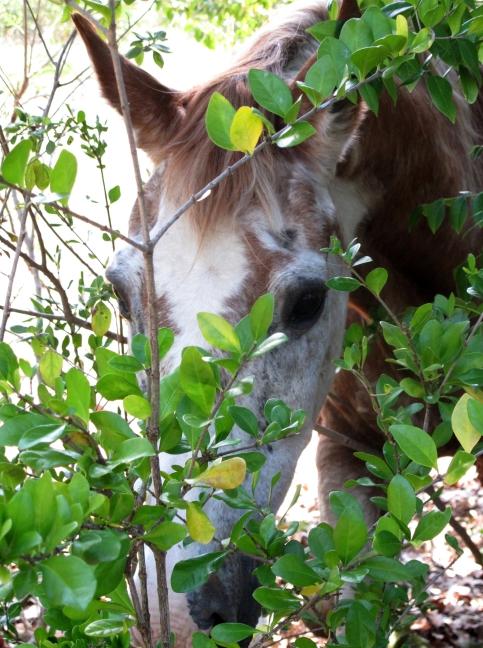 bahamas, abaco, green turtle cay, horse