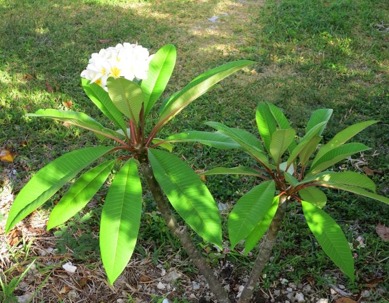 bahamas, abaco, green turtle cay, gardening, horticulture, frangipani, plumeria