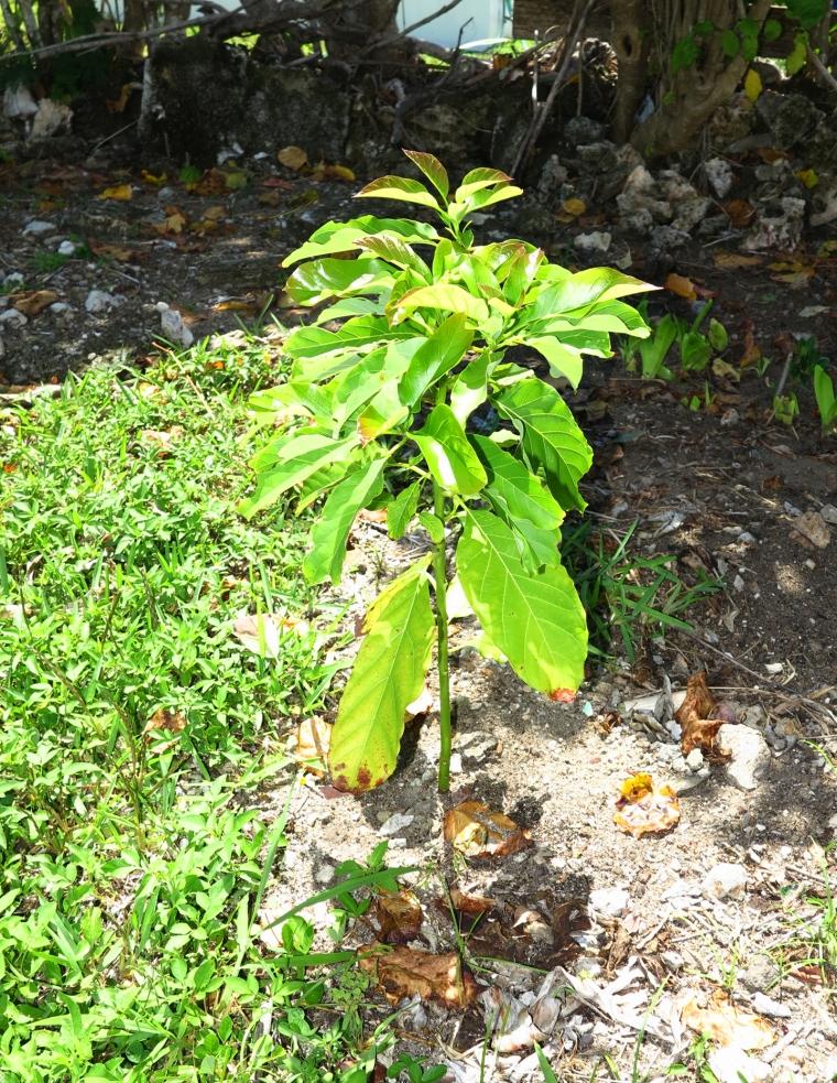 bahamas, abaco, green turtle cay, garden, horticulture, avocado