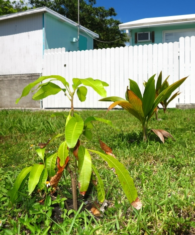 bahamas, abaco, green turtle cay, garden, horticulture, mango, coconut