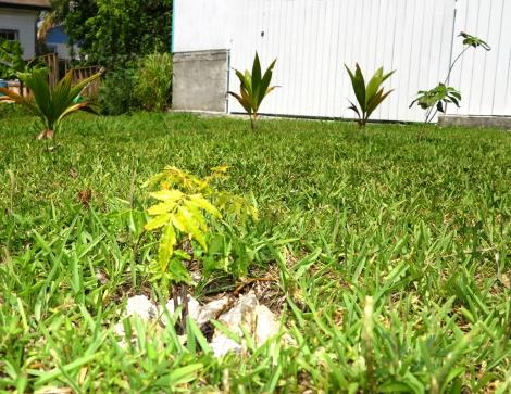 bahamas, abaco, green turtle cay, garden, horticulture, neem, coconut, avocado