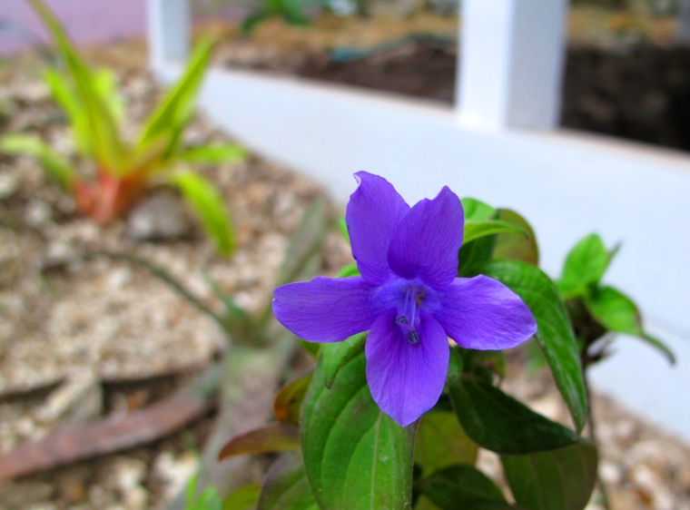 bahamas, abaco, green turtle cay, horticulture, gardening, tropical flowers