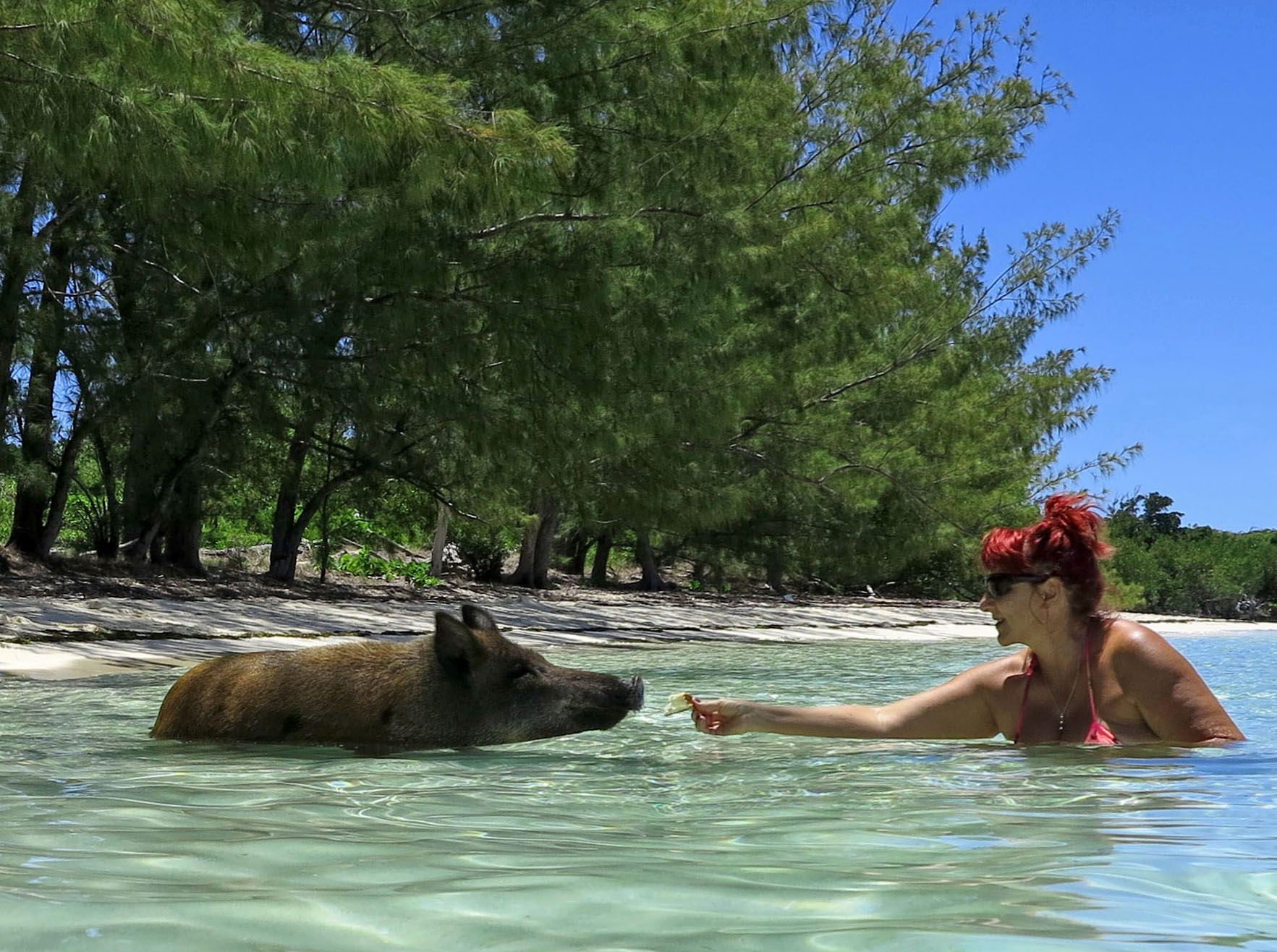 Everything You Need to Know About the Swimming Pigs of Abaco