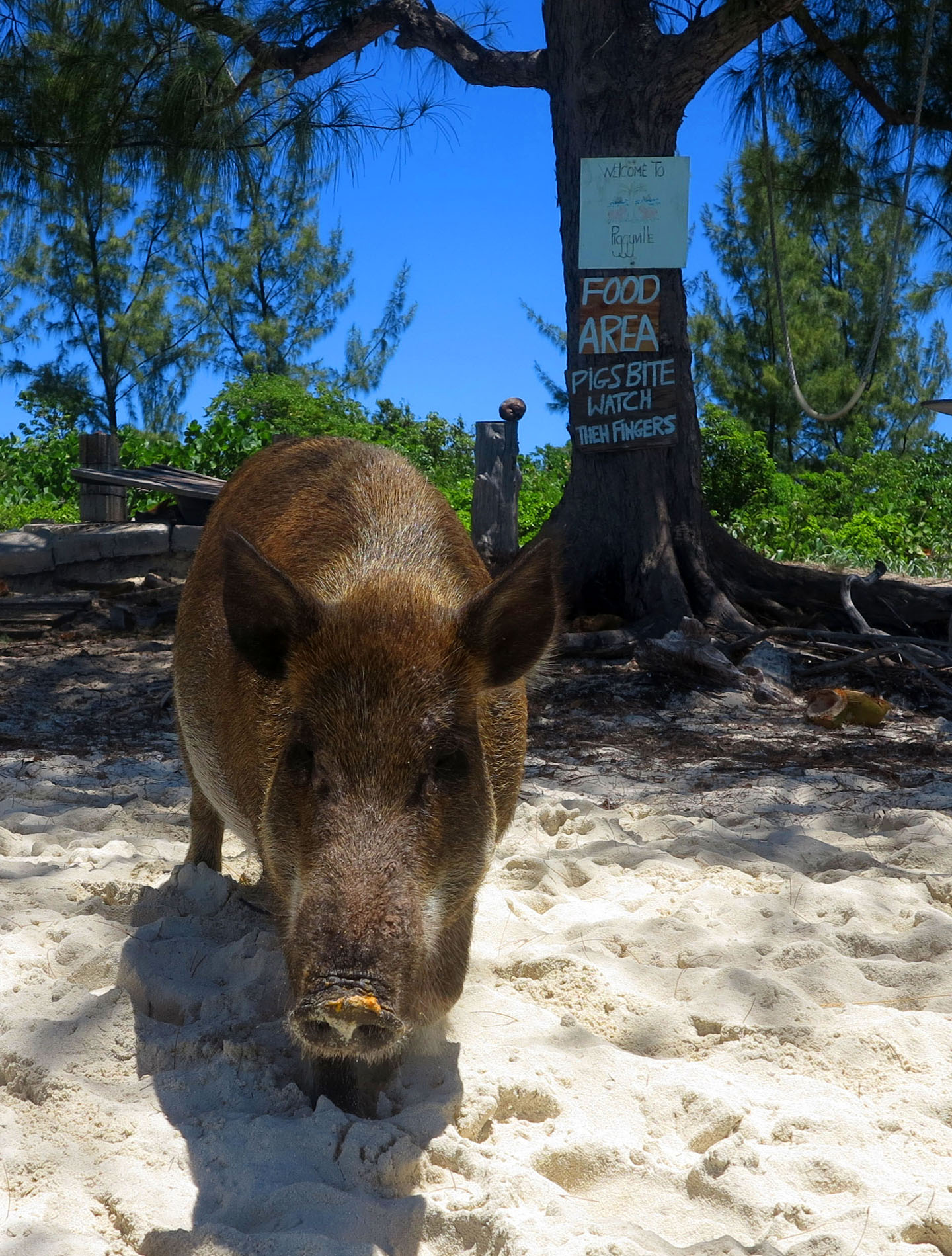 The Pig Whisperer of Green Turtle Cay – LITTLE HOUSE BY THE