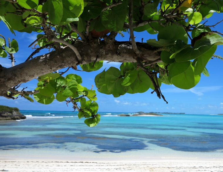 Seagrape Tree at Bita Bay - Green Turtle Cay