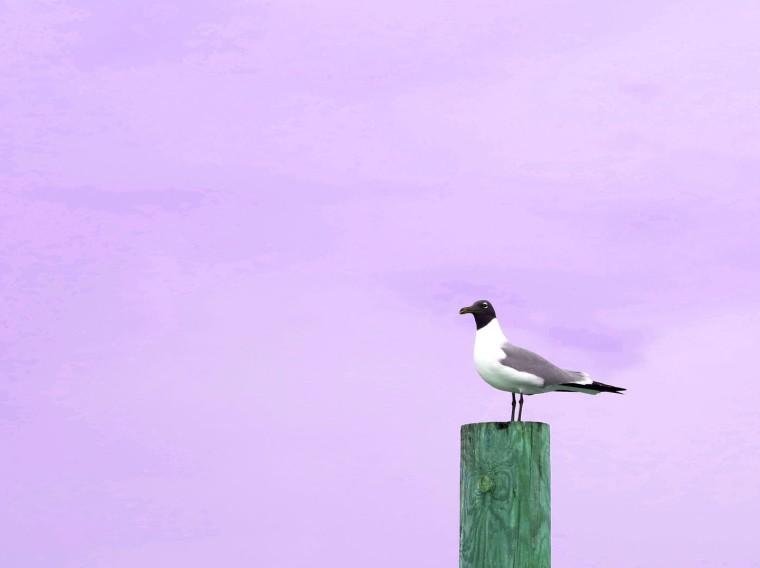Seagull at Sunset - Green Turtle Cay, Abaco, Bahamas.  www.LittleHousebytheFerry.com
