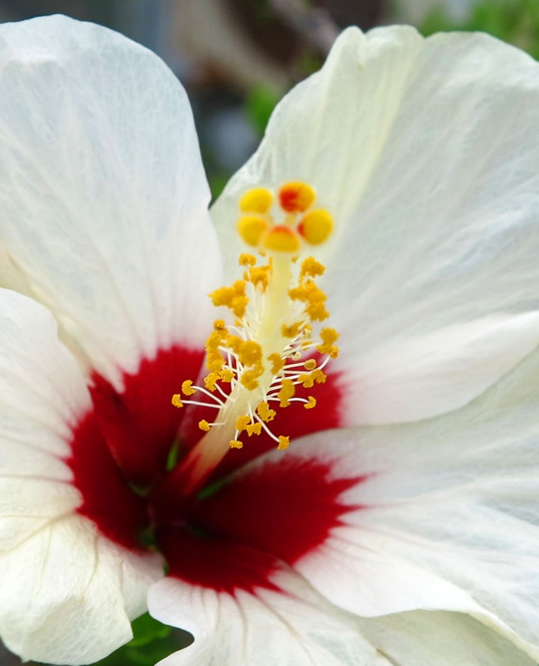 White Hibiscus - Green Turtle Cay, Abaco, Bahamas