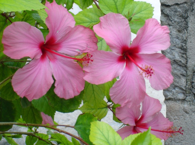 Hibiscus in Green Turtle Cay, Abaco, Bahamas.