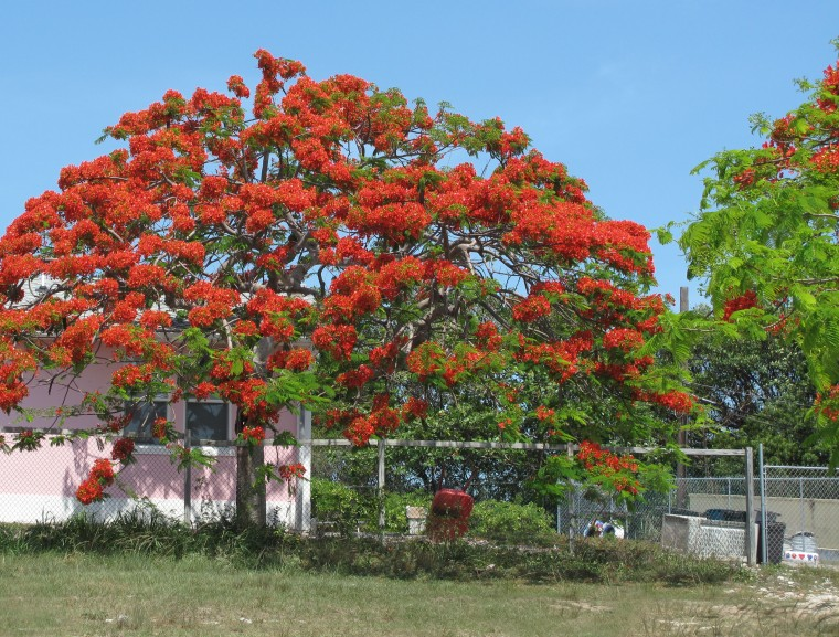 abaco, bahamas, green turtle cay, poinciana tree