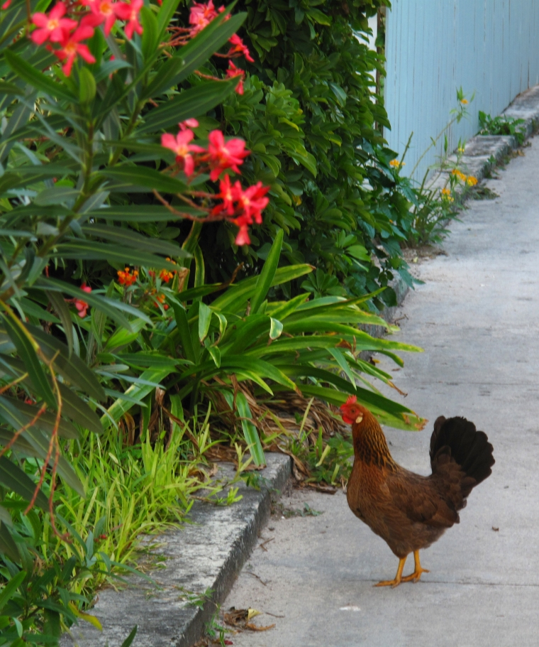 Wild chicken, Green Turtle Cay, Abaco, Bahamas.