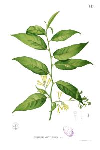 Night-blooming jasmine