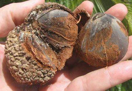 Seeds of the Manicaria Saccifera (Photo: http://www.palmpedia.net/wiki/Manicaria_saccifera)