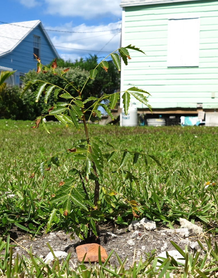 My neem plant