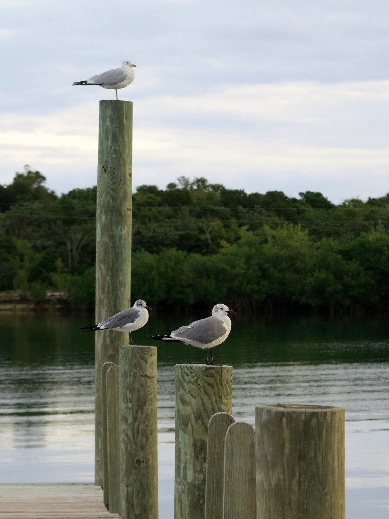 Seagulls in Settlement Creek, Green Turtle Cay, Bahamas