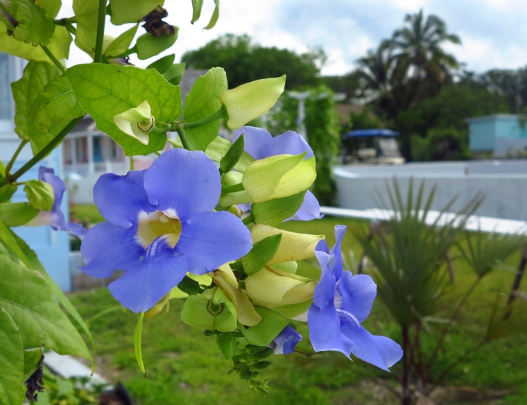 Thunbergia flowers, Green Turtle Cay, Bahamas