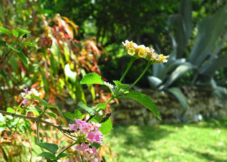 Flowers at the Lowe Gallery Garden, Green Turtle Cay