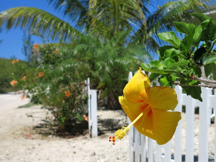Yellow Hibiscus, Green Turtle Cay