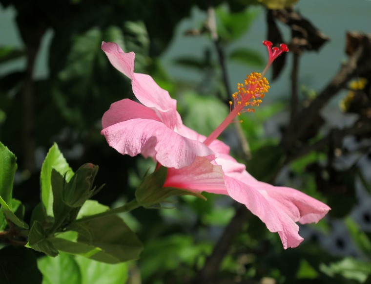Pink hibiscus at Green Turtle Cay, Bahamas