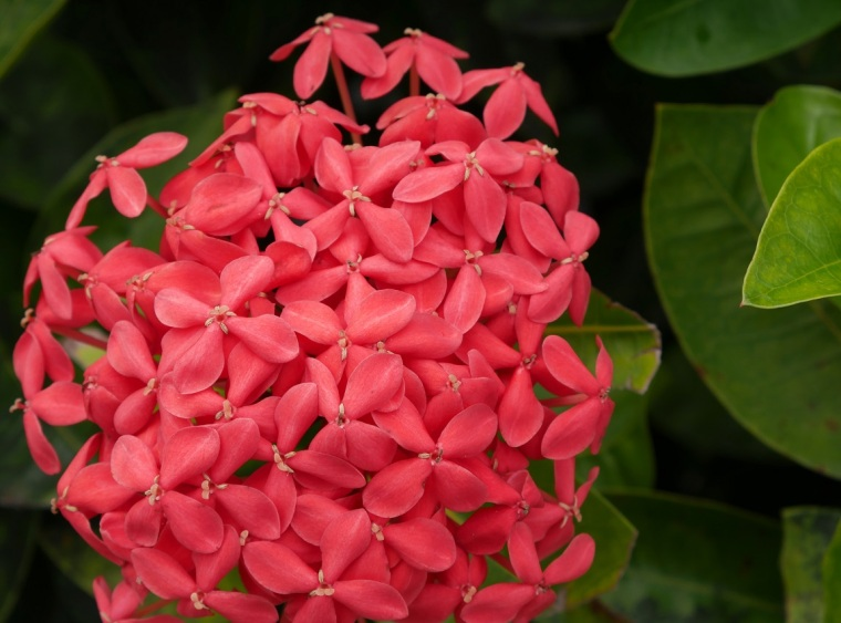 Red Ixora Flowers - Hope Town, Abaco, Bahamas