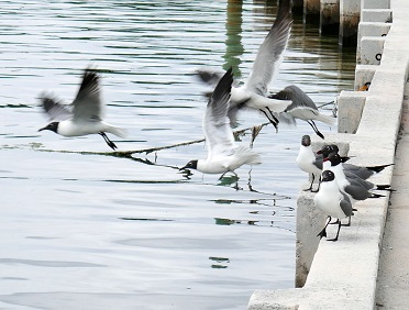 www.LittleHousebytheFerry.com - Daily Photo - Seagulls Take Flight - Green Turtle Cay, Abaco, Bahamas.