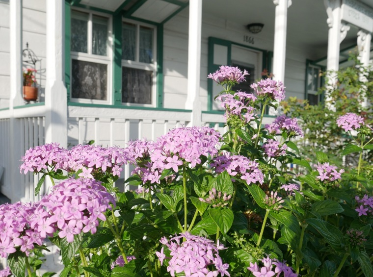 www.LittleHousebytheFerry.com - Daily Photo - Pretty purple pentas in the afternoon sun.