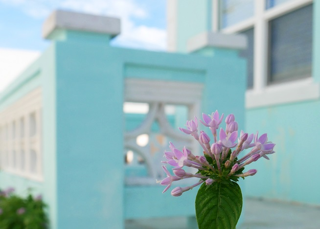 Purple pentas blooms - Green Turtle Cay, Abaco, Bahamas. www.LittleHousebytheFerry.com