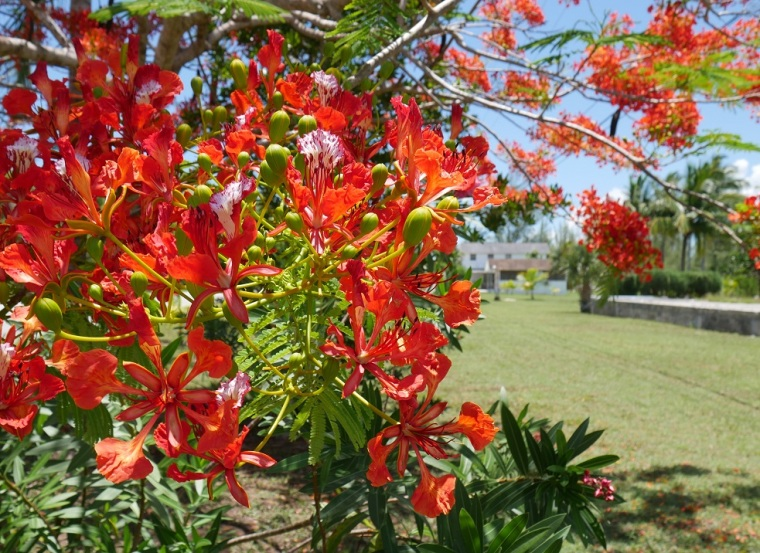 Royal Poinciana Blooms (Photo: Amanda Diedrick - LittleHousebytheFerry.com)