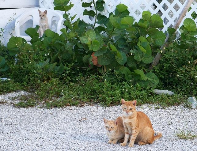 Wild Cats -  Green Turtle Cay, Abaco, Bahamas