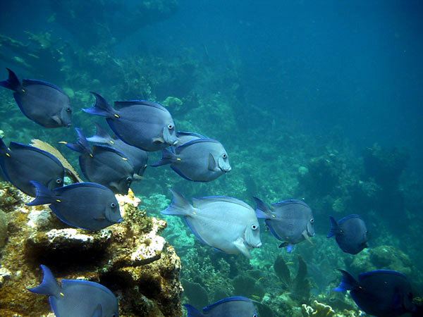 Blue tangs - Abaco, Bahamas - www.littlehousebytheferry.com
