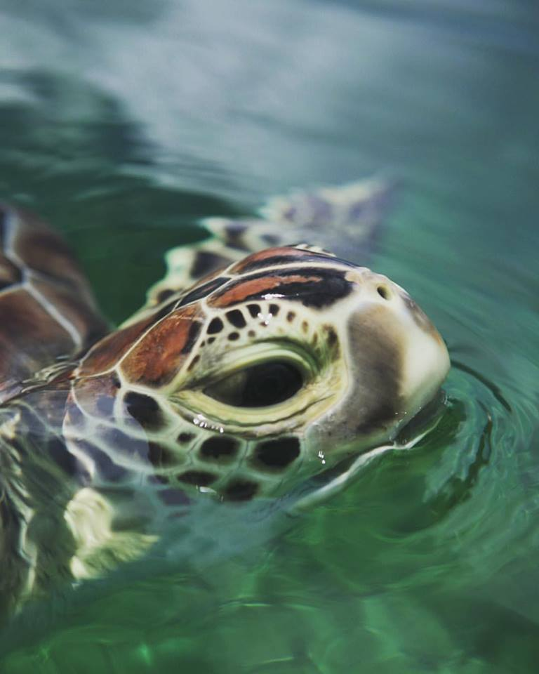 Photograph of a turtle - by Dillon Roberts, Green Turtle Cay, Abaco, Bahamas.  www.LittleHousebytheFerry.com