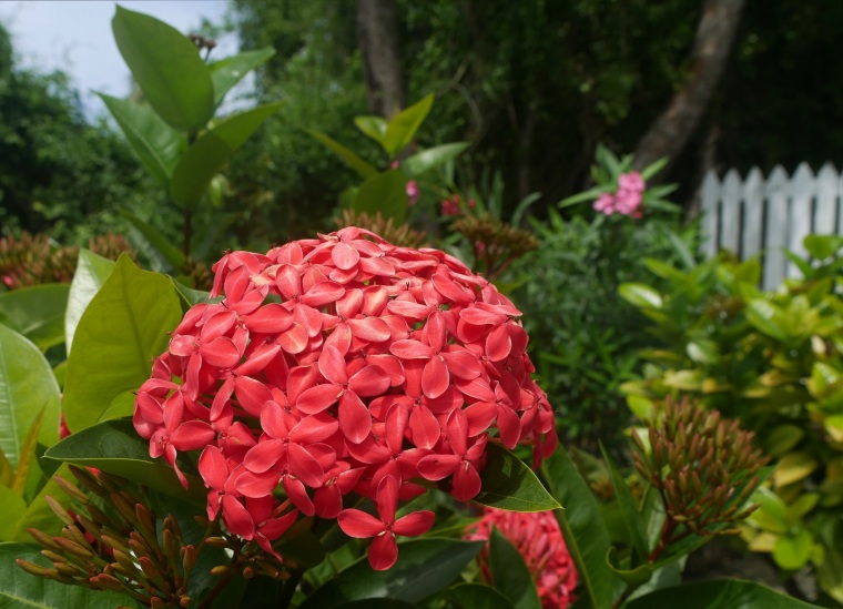 Red Ixora Flowers - Green Turtle Cay, Abaco, Bahamas