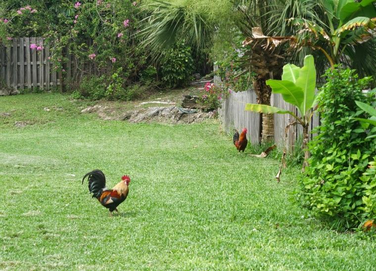 Wild Chickens, Green Turtle Cay, Abaco, Bahamas