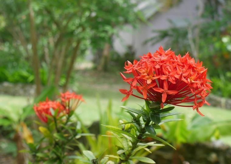 Ixora Flowers, Green Turtle Cay, Abaco, Bahamas