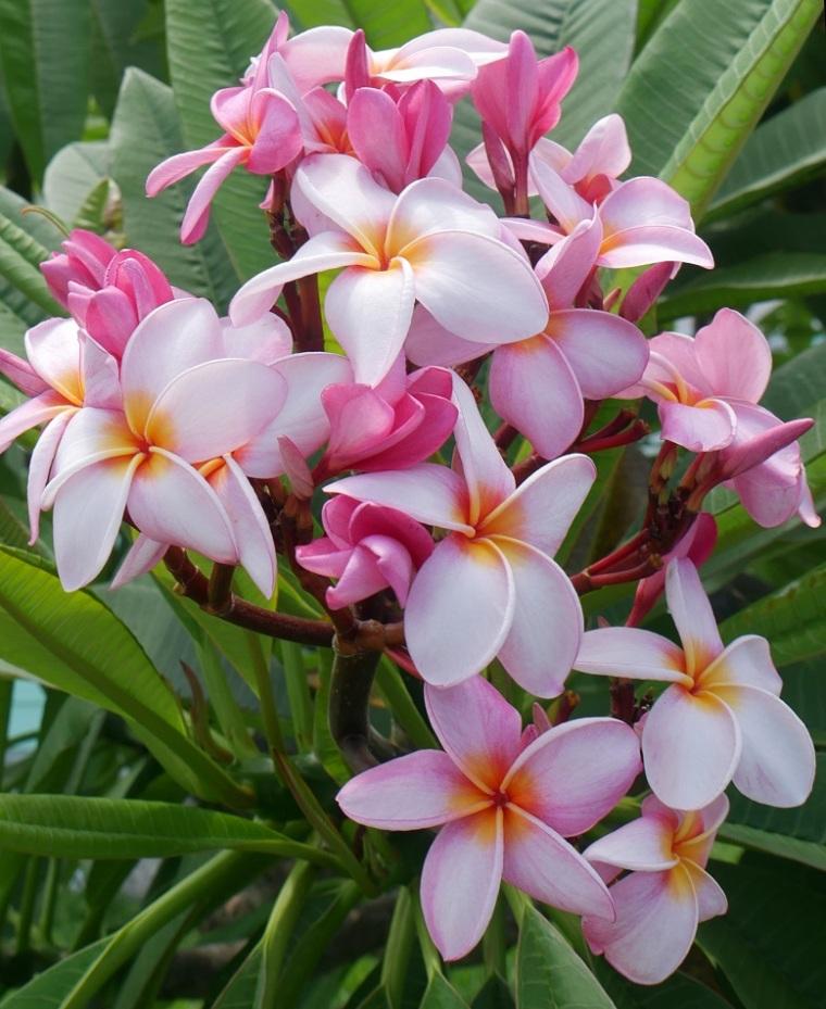 Pink Frangipani, Green Turtle Cay - LittleHousebytheFerry.com