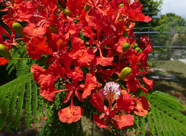 Royal Poinciana - Green Turtle Cay, Abaco, Bahamas