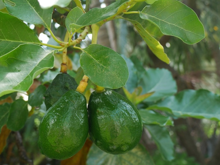 Avocados, Green Turtle Cay, Abaco, Bahamas, LittleHousebytheFerry.com