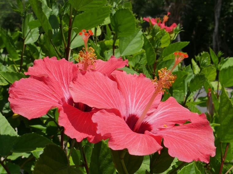 Hibiscus Blooms - Green Turtle Cay, Abaco, Bahamas