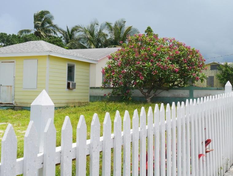 Pink Frangipani Tree, Green Turtle Cay, Abaco, Bahamas