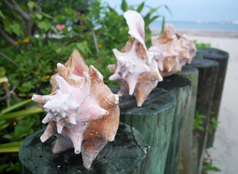 Conch Shells - Green Turtle Cay, Abaco, Bahamas
